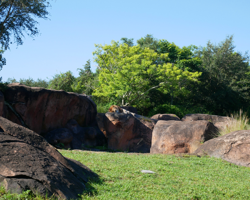 The Lion King Lion Animal Kingdom